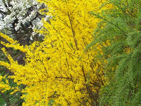 Blooming  magnolia, forsythia and green bush. Background. photo
