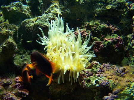Two bright fishes and anemone. Close up.