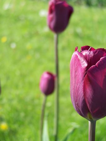 bulp: Close up of the puple tulip flower.