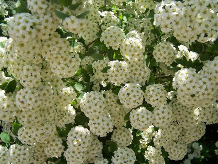 Close up of the blooming white bush.  Stock Photo