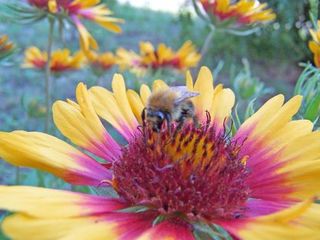 Close up of the bee pollinating red and yellow colored helenium.