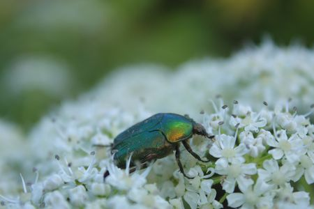 chitin: Close up of the bronze beetle Stock Photo