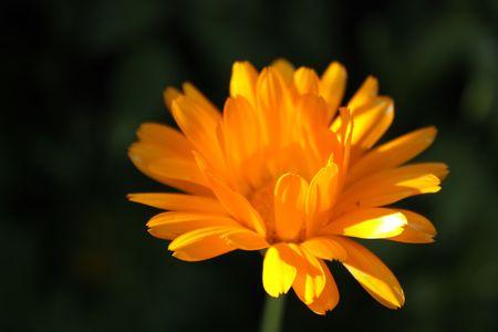 Close up of the orange calendula flower. Stock Photo
