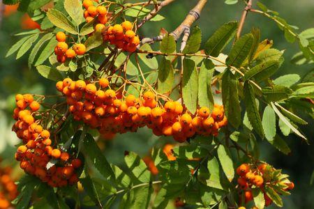 熟したナナカマドの果実のクローズ アップ