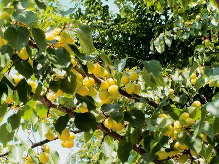 illuminated: Ripening apricots illuminated by sun