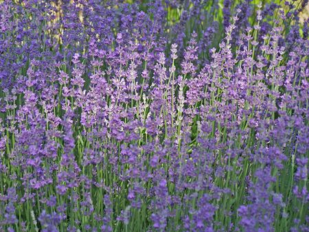 Close up of the blooming lavender. June.