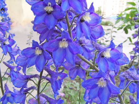 Close up of the blue delphinium blossoms.