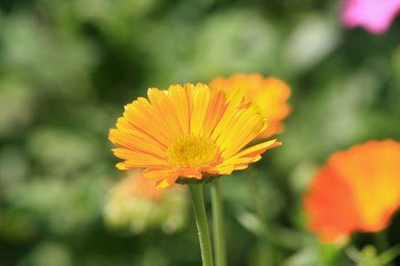 Close up of the calendula officinalis Zdjęcie Seryjne