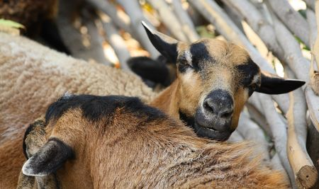 domestic: Close up of the curious domestic goat. Stock Photo