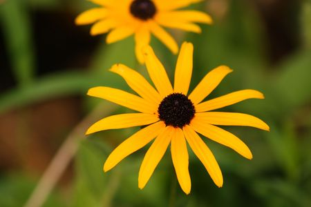 Close up of the yellow rudbeckia. Background. photo