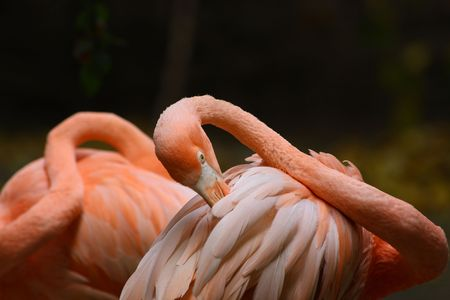 Beautiful pink flamingo cleaning its feathers. photo