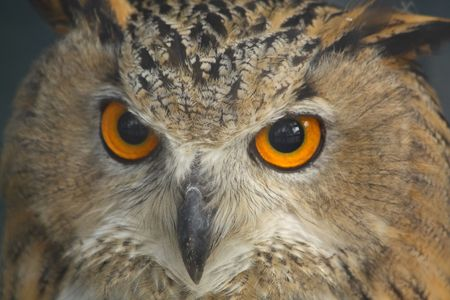 Close up of the owls head.