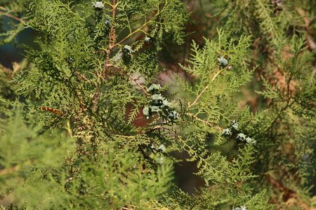 shined: Close up of the shined thuja branches. Stock Photo