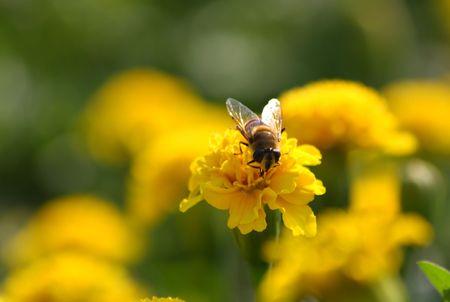 Close-up van de drone vergadering op geel Tagetes.
