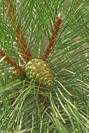 Close-up van de groene pijnboombossen con.