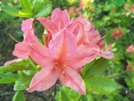 Close-up van azalea bloeit.