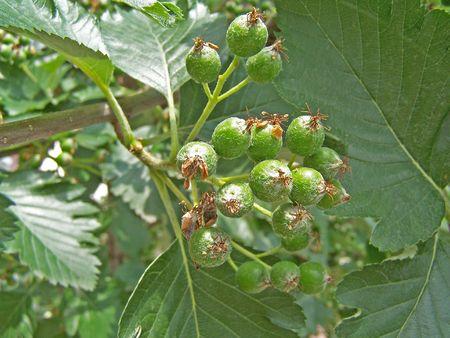 緑のナナカマド果実束のクローズ アップ 写真素材