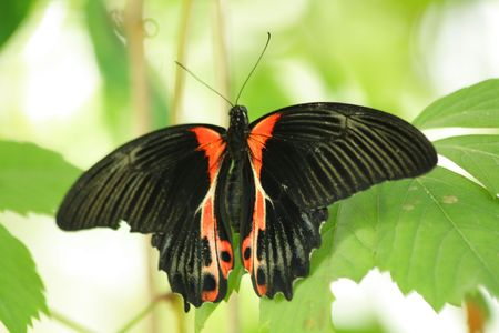 Close up of the black and red colored tropical butterfly Stock Photo