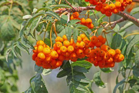 ナナカマド果実束のクローズ アップ