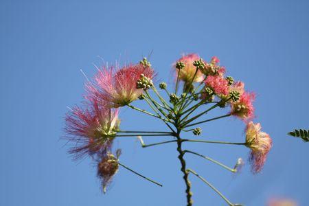 Acacia blossoms. Albizia julibrissin Durazz. Zijde de structuur. Stockfoto