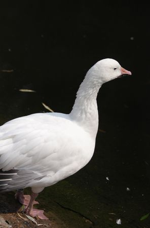 Close up of the white duck.