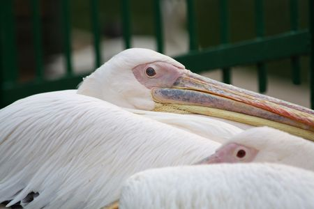 Close up of the resting pelican