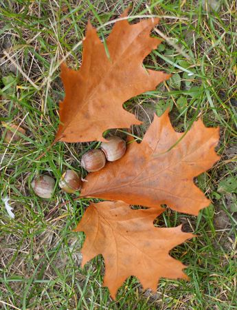 Close up of the dry oak leaves and acorns photo