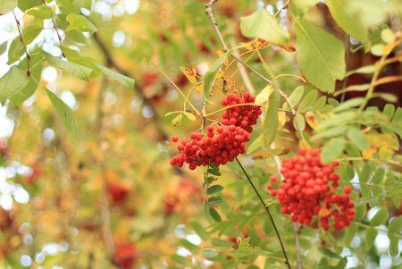 熟したナナカマドの果実。秋の背景。