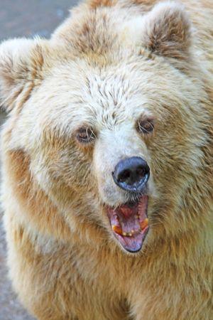 angry bear: Enojado gran oso. Emociones negativas un peligro Foto de archivo