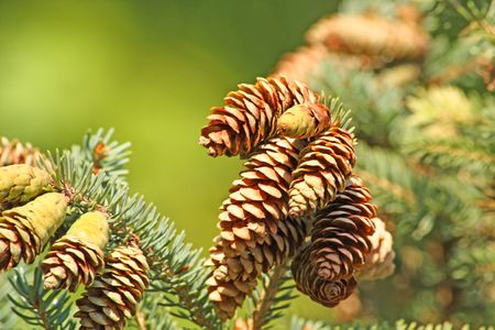 Close up of the cones shined by sun Stock Photo - 3710819