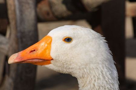 domestic: Close up of the white domestic goose head Stock Photo