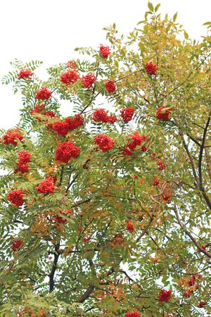 Rowanberry tree in the middle of the fall