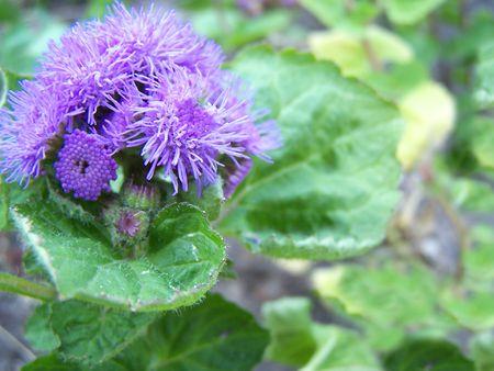 aura: Close up of the purple ageratum blossom. Blue aura.
