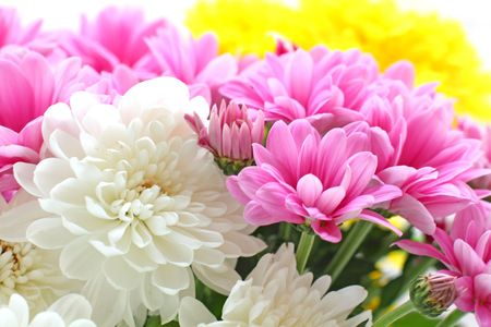 Close up of the colorful chrysanthemum photo