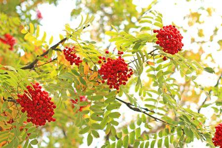 Three ash-berry clusters. Autumn background. Banco de Imagens