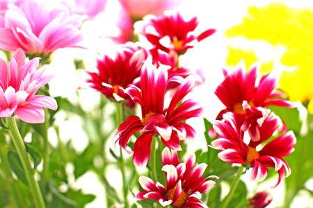 Close-up van de heldere chrysant