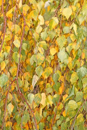Sluit een van de birch bladeren. Herfst.
