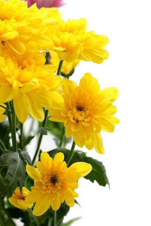Close up of the beautiful yellow chrysanthemum. photo