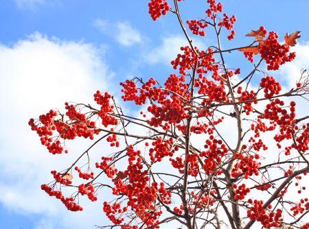 ナナカマドの木。11 月の空。季節変化