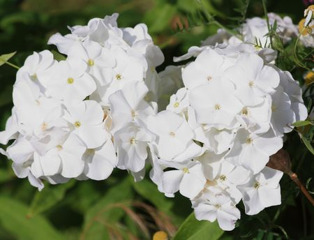 Close up of the white snowball blossoms.