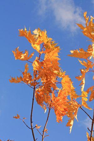 黄色のナナカマドの葉と青い空。