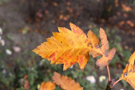 ナナカマドの葉のクローズ アップ