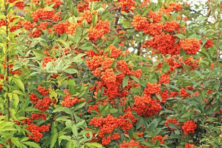 赤と緑の色。果実し、葉します。