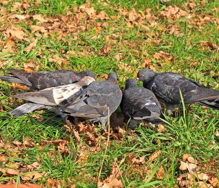 Close-up van de vijf duiven.