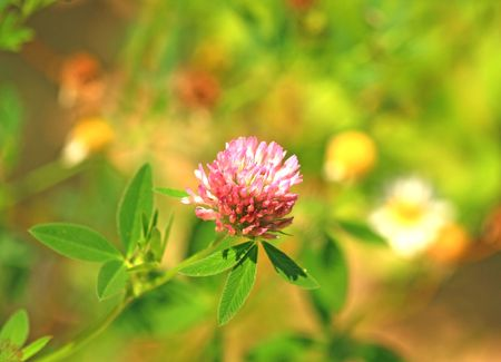 red clover: Close up of the red clover.