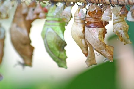 Close up of the butterfly cocoons photo