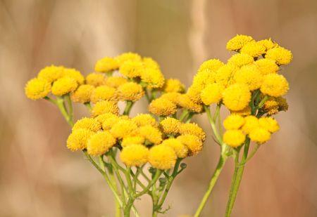 yarrow: Close up of the blooming yellow yarrow
