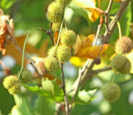 Close up of the prickled platan fruits Stockfoto
