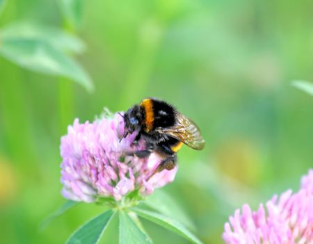 Bumblebee pollinating the clover Stock Photo - 3958449
