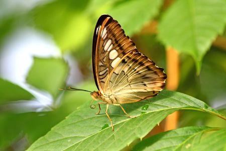 Close-up van de prachtige tropische vlinder. Danaus hrysippus.